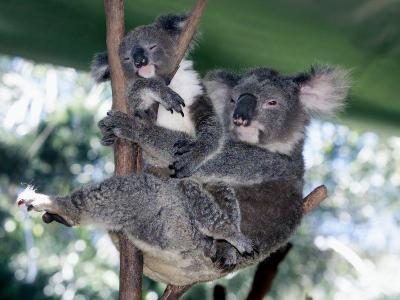 A Mother Koala Proudly Holds Her Ten-Month-Old Baby, Sydney, Australia, November 7, 2002-Russell Mcphedran-Photographic Print