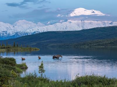 A Mother Moose Feeding in Wonder Lake-Howard Newcomb-Photographic Print