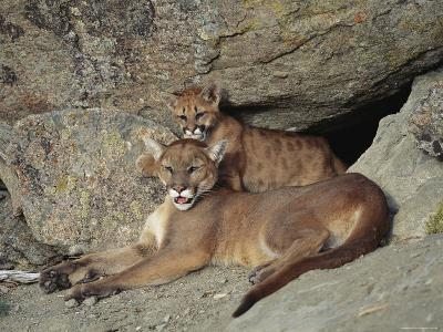 A Mother Mountain Lion and Her Cub Rest at the Entrance to a Cave-Norbert Rosing-Photographic Print