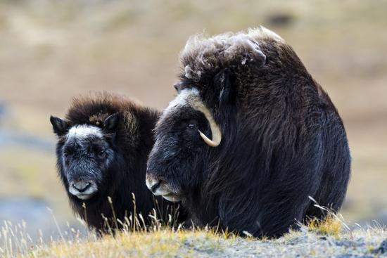 A Mother Musk Ox Protecting Her Calf on the Open Tundra-Jason Edwards-Photographic Print