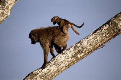 A Mother Olive Baboon (Papio Anubis) Carries Her Baby On Her Back As She Climbs Down a Tree-Tim Laman-Photographic Print