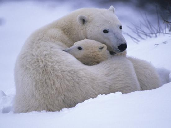 A Mother Polar Bear and Her Cub-Paul Nicklen-Photographic Print