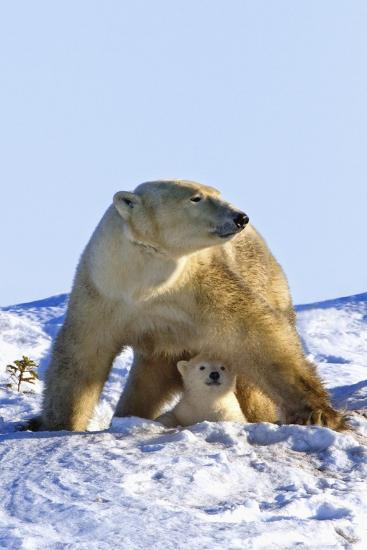 A Mother Polar Bear (Ursus Maritimus) with Her Cub in Wapusk National Park; Churchill-Design Pics Inc-Photographic Print