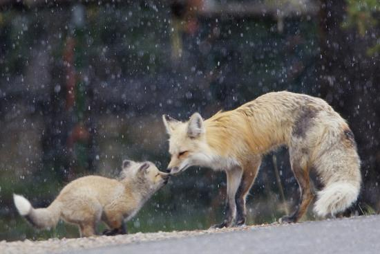A Mother Red Fox, Vulpes Vulpes, and Kit Nuzzle Each Other-Barrett Hedges-Photographic Print