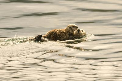 A Mother Sea Otter Swims on Her Back as Her Baby Rests on Her Stomach in Alaskan Waters-John Alves-Photographic Print