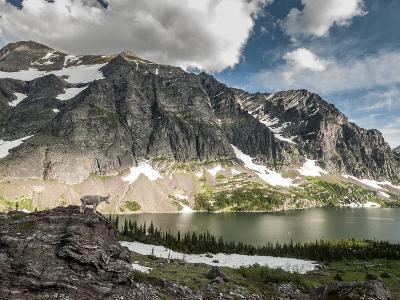 A Mountain Goat in Glacier National Park, Montana.-Steven Gnam-Photographic Print