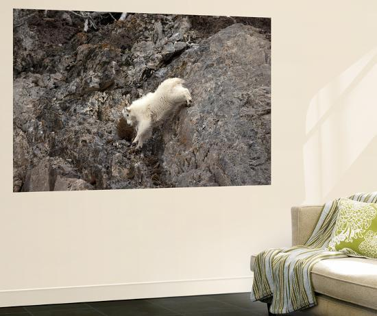 A Mountain Goat, Oreamnos Americanus, Moves with Ease Down a Rocky Ledge-Robbie George-Wall Mural