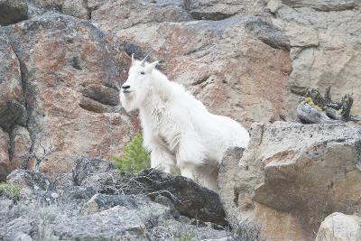 A Mountain Goat, Oreamnos Americanus, Stands on a Cliff-Barrett Hedges-Photographic Print