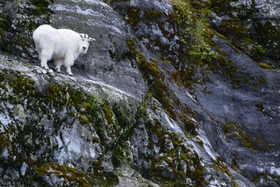 A Mountain Goat Stands on a Cliff Looking with Surprise at the Camera-Michael Melford-Photographic Print
