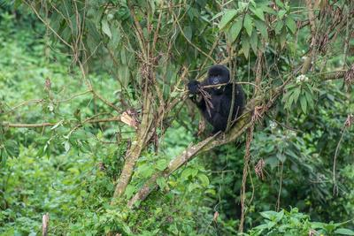 https://imgc.artprintimages.com/img/print/a-mountain-gorilla-gorilla-beringei-beringei-sitting-in-a-tree_u-l-q12wu4y0.jpg?p=0