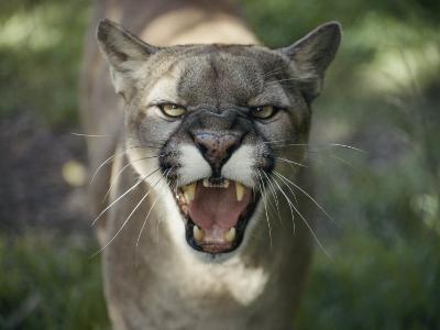A Mountain Lion Hisses at the Camera-Jason Edwards-Photographic Print