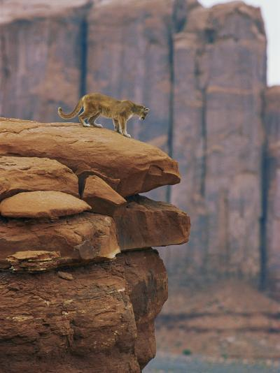 A Mountain Lion Pauses at the Edge of a Cliff-Norbert Rosing-Photographic Print