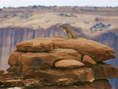 A Mountain Lion Pauses Atop a Cliff Ledge-Norbert Rosing-Photographic Print