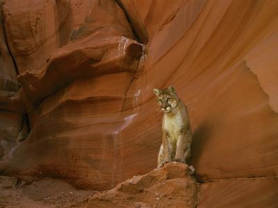 A Mountain Lion Pauses Atop a Rock-Norbert Rosing-Photographic Print