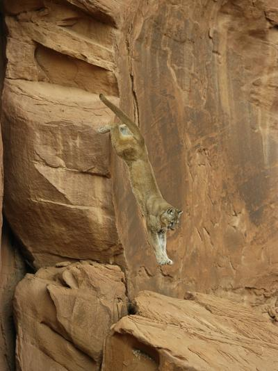 A Mountain Lion Soars Down the Side of a Cliff-Norbert Rosing-Photographic Print