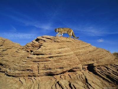 A Mountain Lion Walks Across a Desert Landscape--Photographic Print
