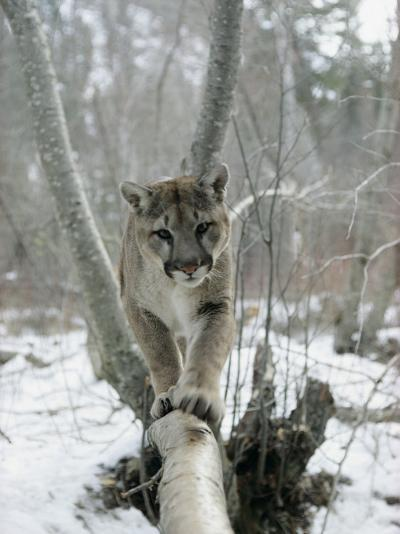 A Mountain Lion Walks Along a Tree Branch in Winter-Dr^ Maurice G^ Hornocker-Photographic Print