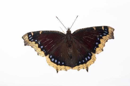 A Mourning Cloak Butterfly, Nymphalis Antiopa, at the Minnesota Zoo-Joel Sartore-Photographic Print