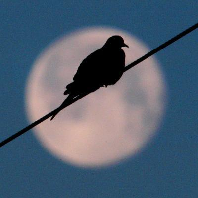 A Mourning Dove Sits Atop a Utility Wire as the Full Moon Sets Over Grand Isle--Photographic Print