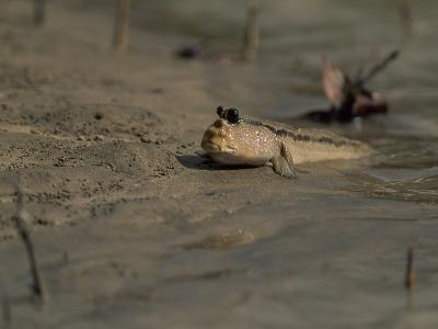 A Mudskipper Fish on a Tidal Flat-Tim Laman-Photographic Print