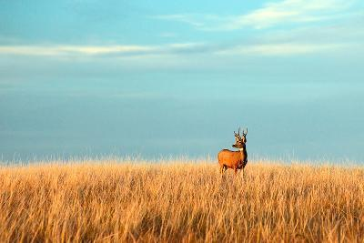 A Mule Deer Buck Stands in a Tall Bed of Grass and Looks into the Autumn Sun on the Great Plains.-Todd Klassy-Photographic Print