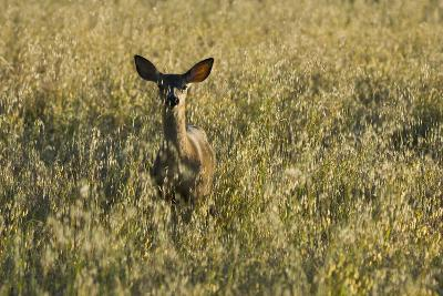 A Mule Deer, Odocoileus Hemionus, Stands in a Grass Field-Paul Colangelo-Photographic Print