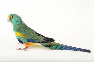 A Mulga Parrot, Psephotus Varius, at Sylvan Heights Bird Park-Joel Sartore-Photographic Print