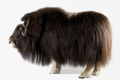 A Musk Ox, Ovibos Moschatus, at the University of Alaska in Fairbanks.-Joel Sartore-Photographic Print