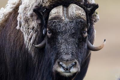 A Musk Ox Staring at the Camera with Sharp Pointed Horns-Jason Edwards-Photographic Print