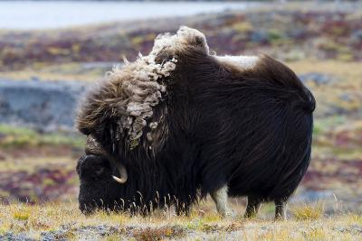 A Musk Ox with a Huge Shaggy Coat Grazing on Tundra Grasses-Jason Edwards-Photographic Print