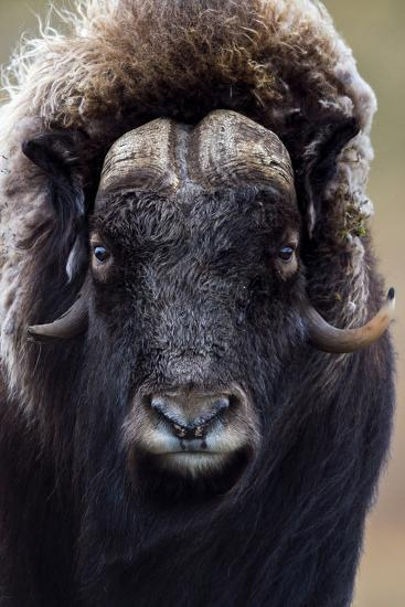A Musk Ox with a Huge Shaggy Coat Staring at the Camera with Sharp Pointed Horns-Jason Edwards-Photographic Print