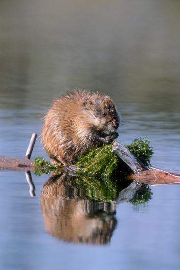 A Muskrat Devours Greens it Hauled Up from the Bottom of the Pond-Tom Murphy-Photographic Print
