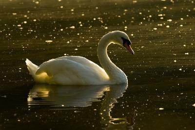 A Mute Swan, Cygnus Olor, Floats on a Lake Among Feathers-Paul Colangelo-Photographic Print