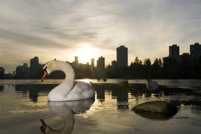 A Mute Swan, Cygnus Olor, in Lost Lagoon in Stanley Park-Paul Colangelo-Photographic Print