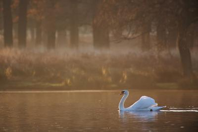 A Mute Swan, Cygnus Olor, Swimming in a Pond in Winter-Alex Saberi-Photographic Print