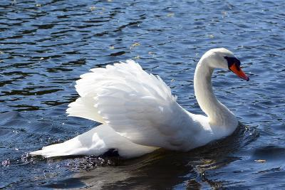 A Mute Swan, Cygnus Olor, Swims in a Pond in the Public Garden-Darlyne A^ Murawski-Photographic Print