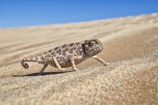 A Namaqua Chameleon Walks On The Sand In The Namib Desert Dunes-Karine Aigner-Photographic Print
