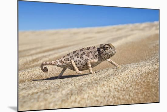 A Namaqua Chameleon Walks On The Sand In The Namib Desert Dunes-Karine Aigner-Mounted Photographic Print