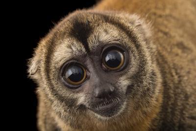 A Nancy Ma's Night Monkey, Aotus Nancymaae, at the Dallas World Aquarium-Joel Sartore-Photographic Print