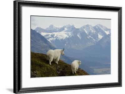A Nanny and Kid Mountain Goat Stand on a Ridge with the Scenic Kenai Mountains-Design Pics Inc-Framed Photographic Print