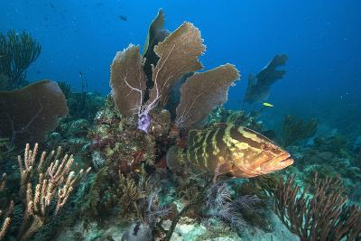 A Nassau Grouper Swims in the Rich Coral Reefs of Gardens of the Queen-David Doubilet-Photographic Print