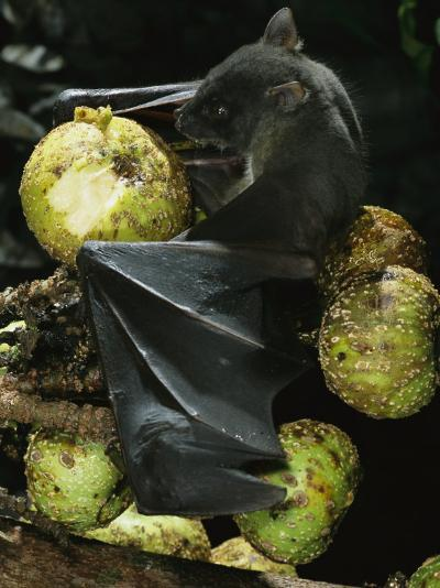 A Native Species, the Musky Fruit Bat Feeds on Figs-Tim Laman-Photographic Print