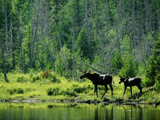 A Natural Salt Lick Lures Moose to the Shores of Hidden Lake-Phil Schermeister-Photographic Print