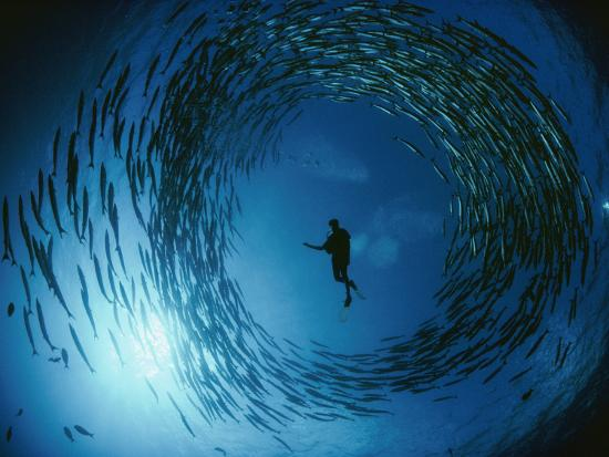 A Naturalist Is Ringed by a Group of Rotating Barracuda-David Doubilet-Photographic Print