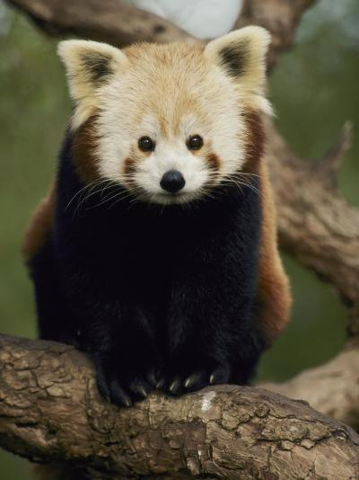 A Nepalese Red Panda Sits on a Tree Branch-Jason Edwards-Photographic Print