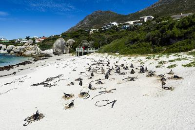 A Nesting Colony of African Penguins on a Beach Near a Towns Residential Estate-Jason Edwards-Photographic Print