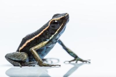 A New Species of Poison Dart Frog Belongs to the Genus Ameerega-Charlie James-Photographic Print
