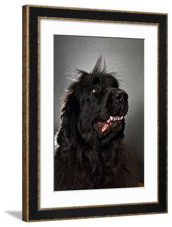 A Newfoundland Dog Looks Away from the Camera-Heather Perry-Framed Photographic Print