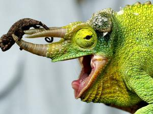 A Newly Born Jackson's Chameleon Rests on its Dad's Horns