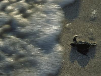 A Newly Hatched Green Turtle Marches to the Sea-Kenneth Garrett-Photographic Print